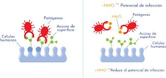 Efecto antiadhesivo de los HMO